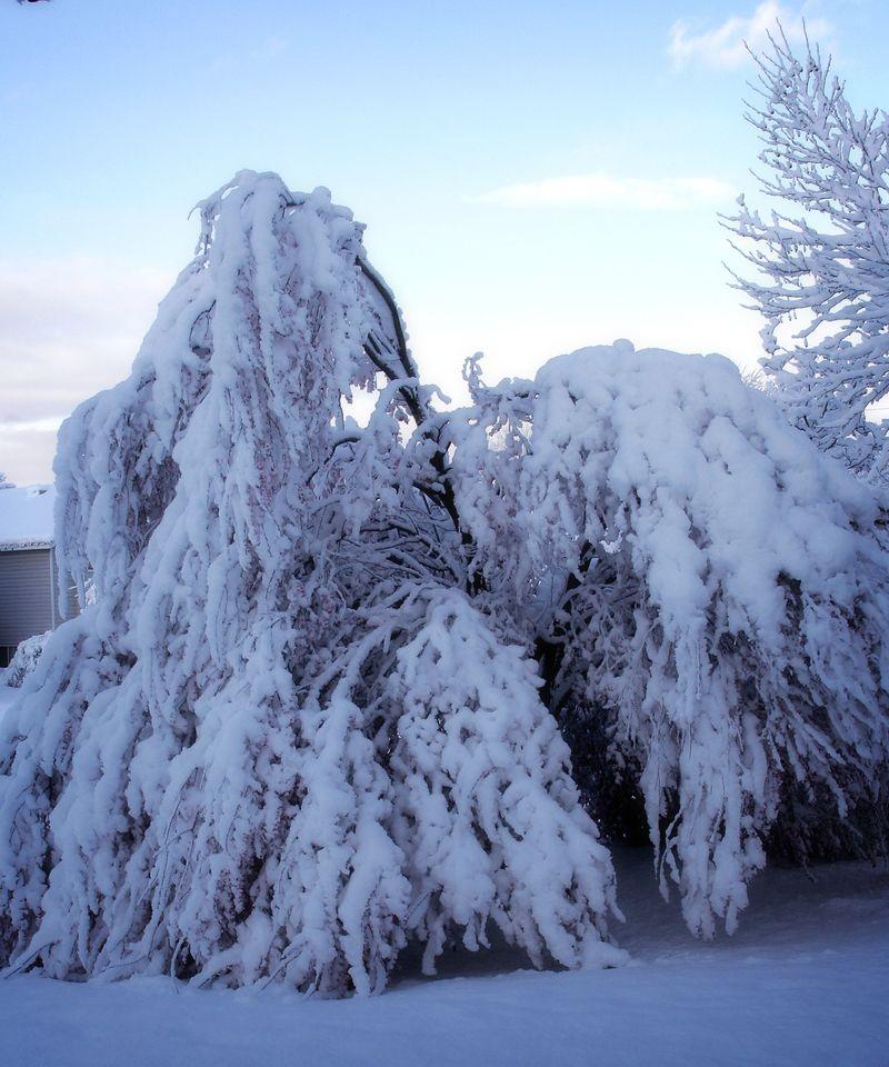 Snowy tree 01