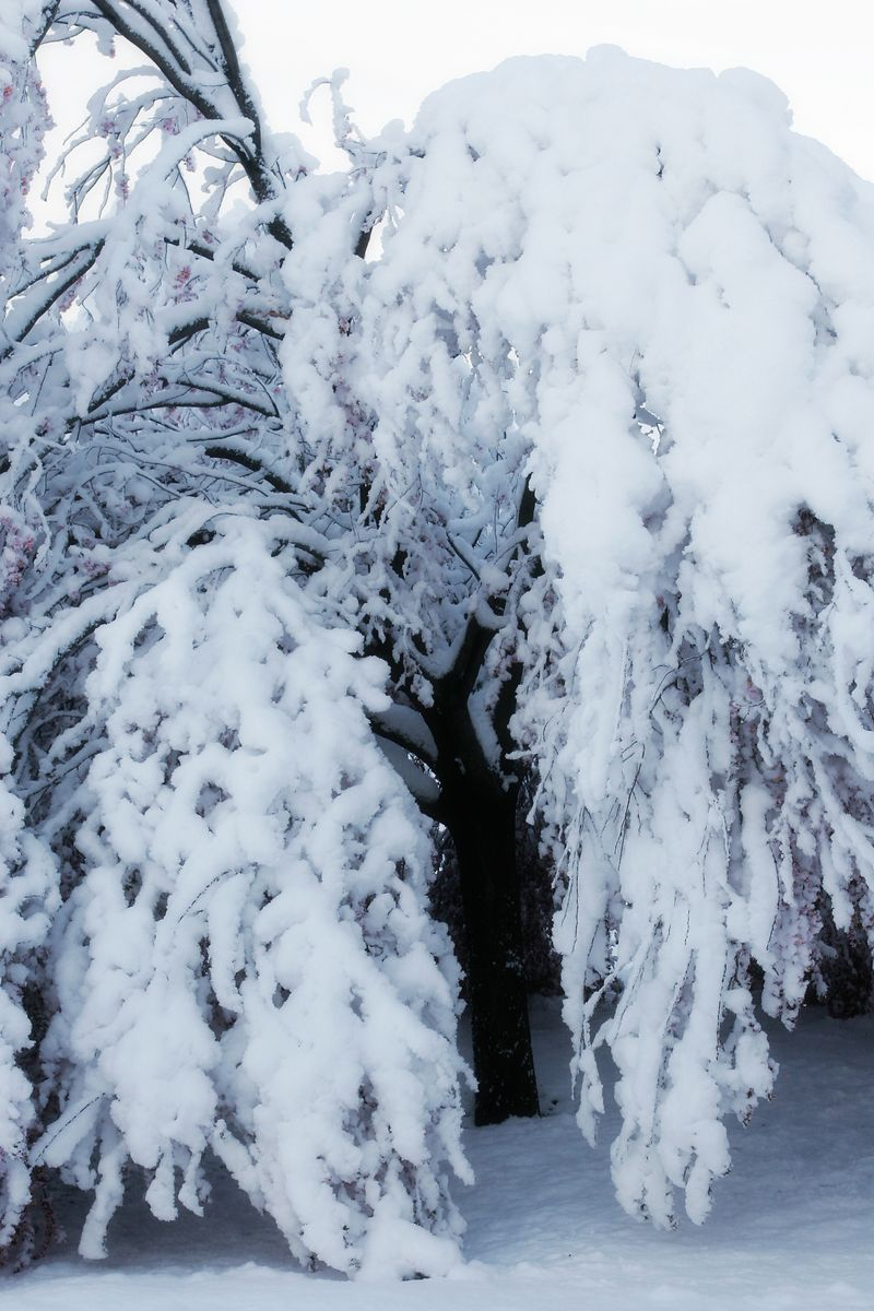 Snowy tree 02