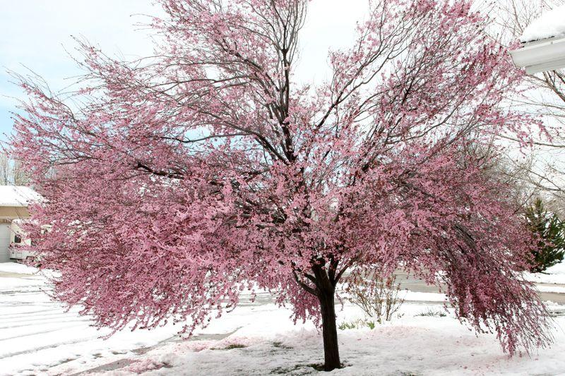 Snowy tree 03