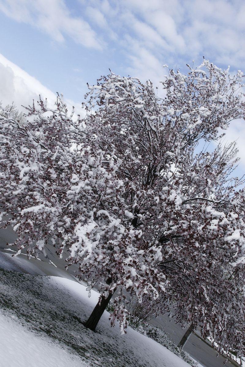 Snowy tree 2011