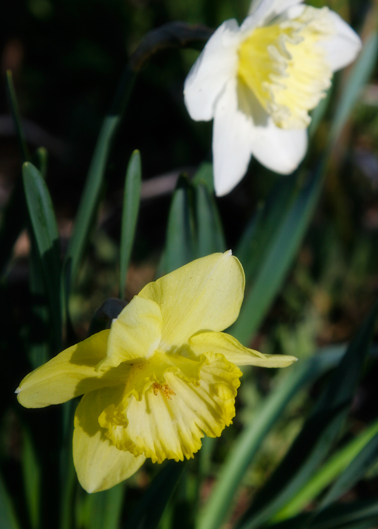 Dads daffodils