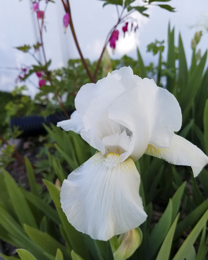 Iris and bleeding heart