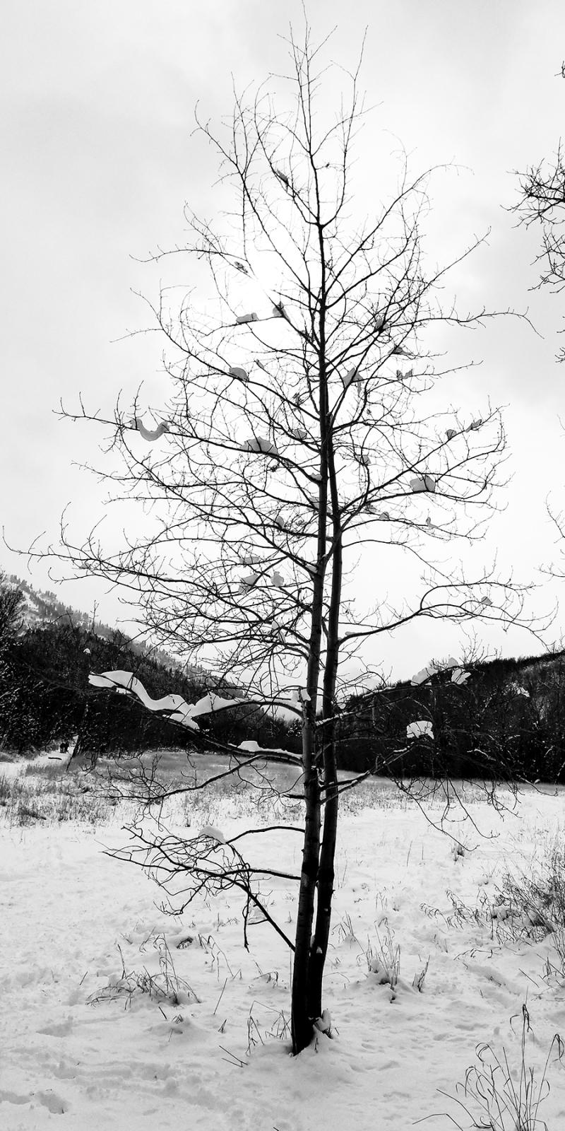 Snowy utah trees