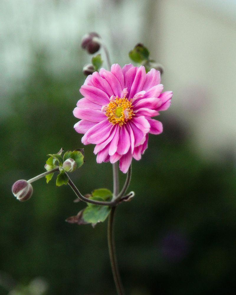 Pink daisies 2