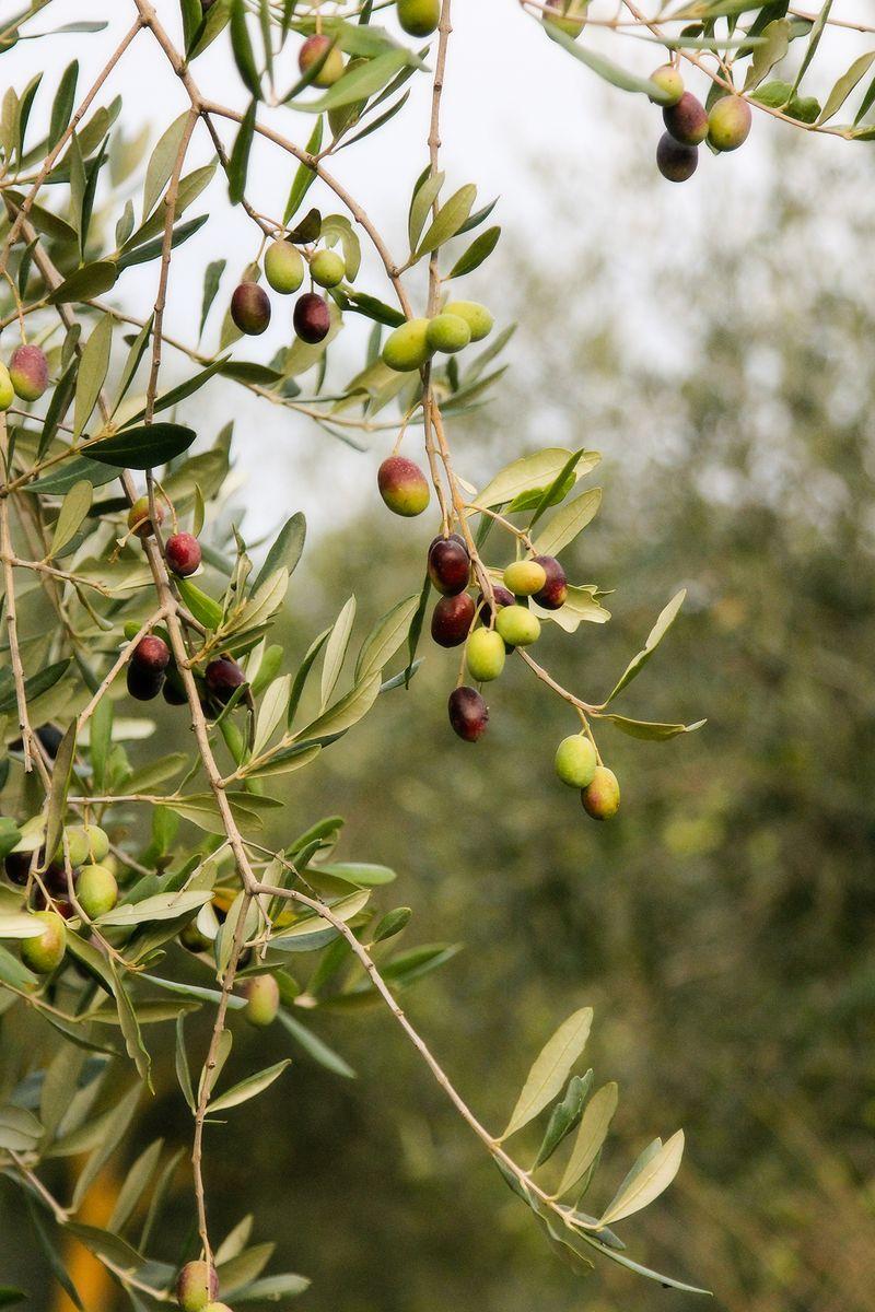 IMG_0982 olive tree 4x6