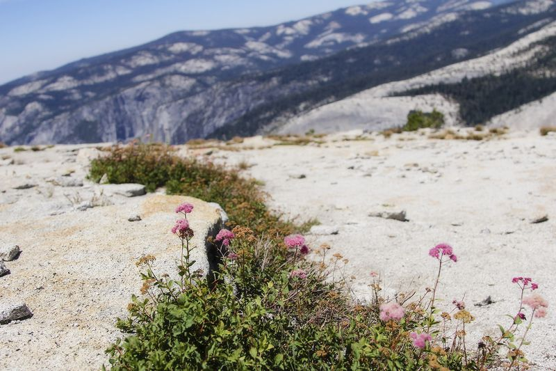 Flowers on top of Yosemite