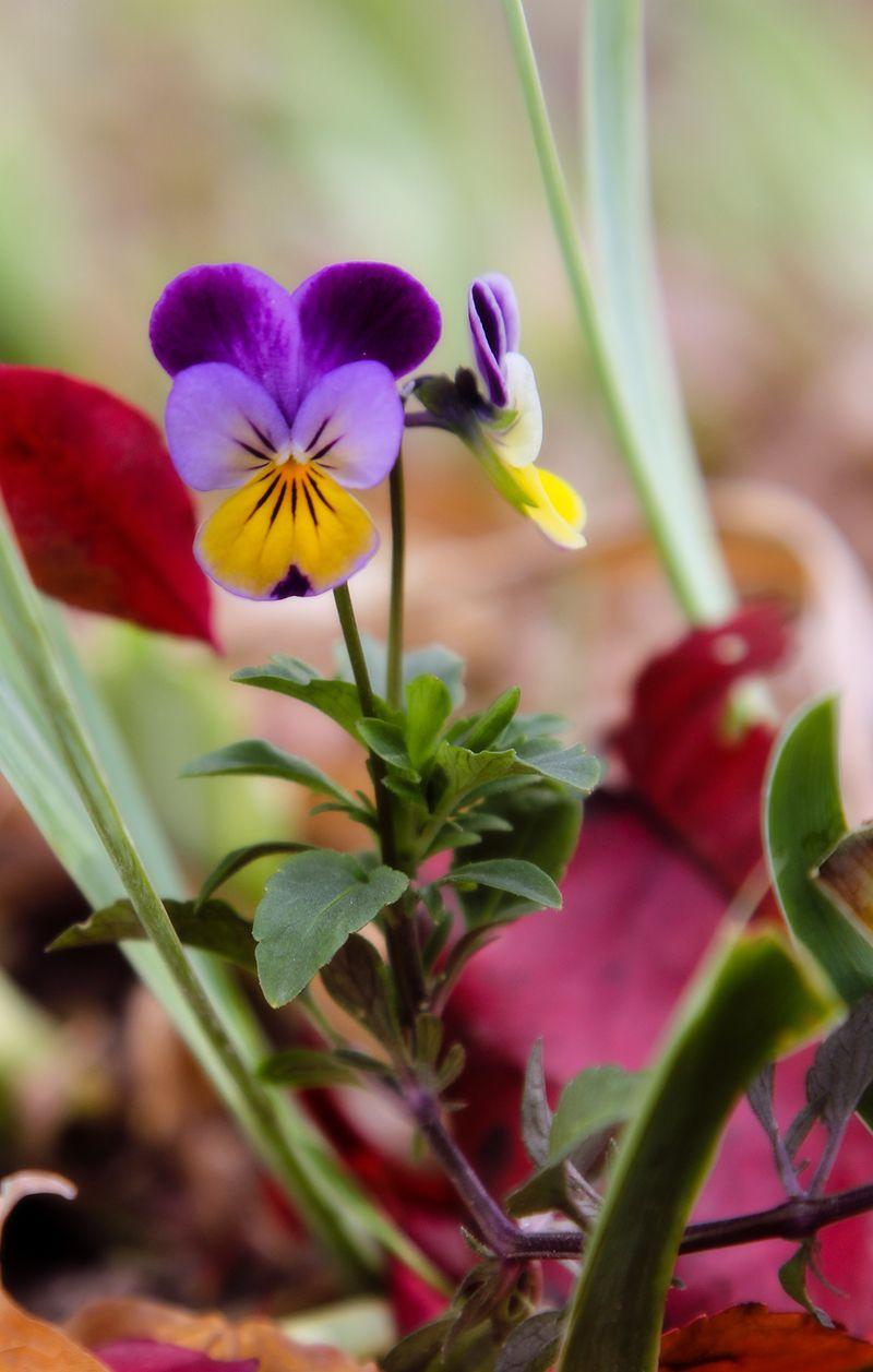 IMG_4504 autumn violet
