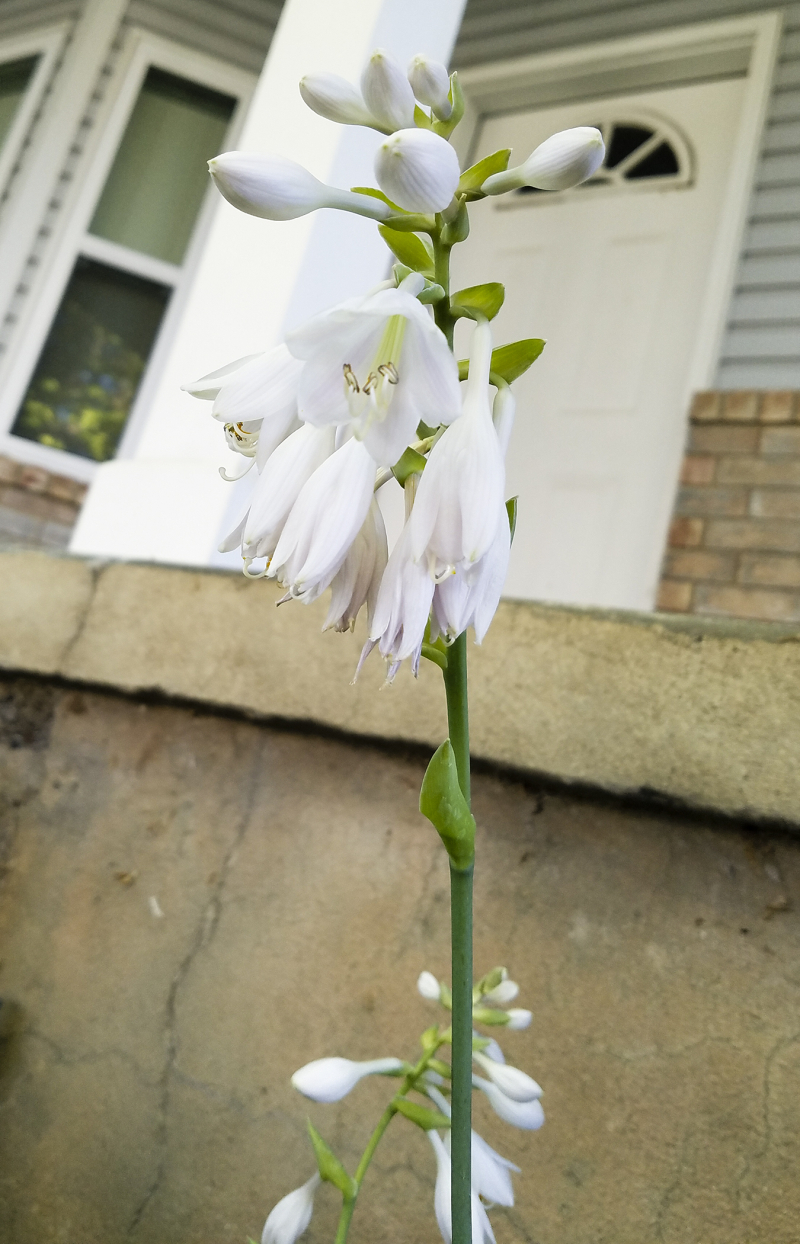 White hosta flowers
