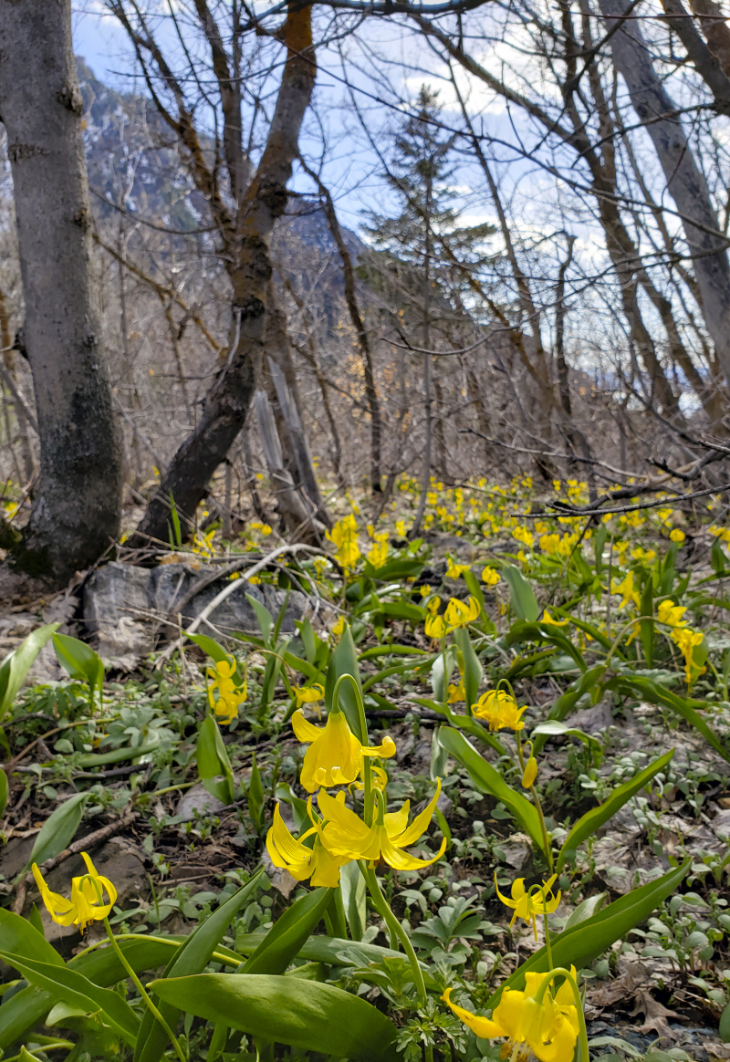 Yellow glacier lilies