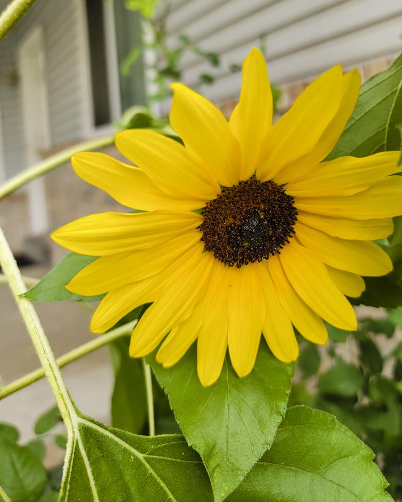 Sunflowers september 2021