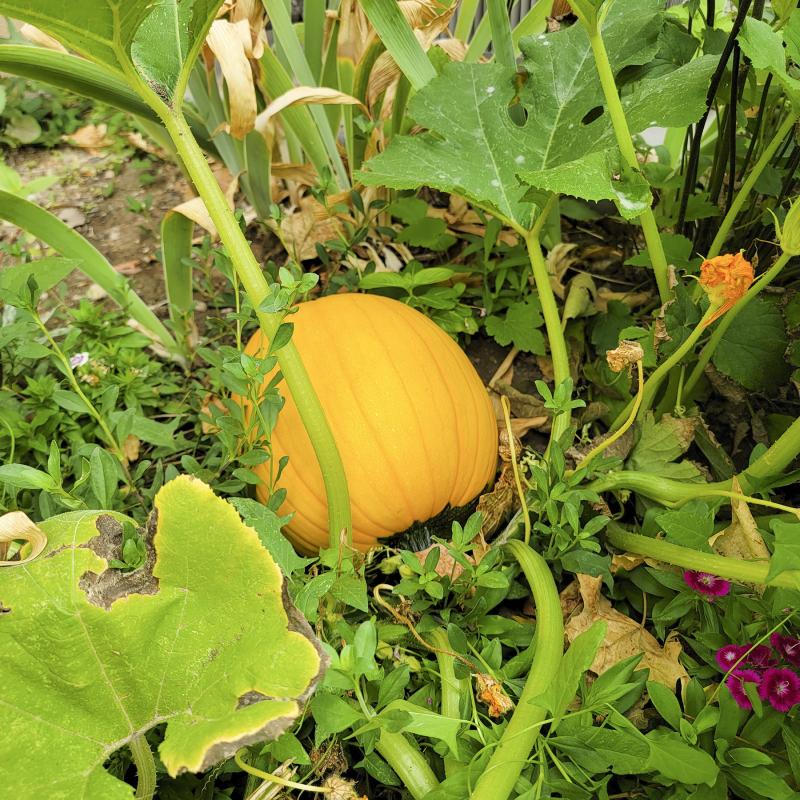 September 2021 pumpkin no2