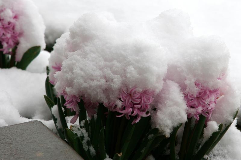 Hyacinths_in_snow